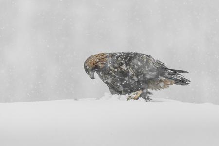 aigle royal: Un aigle royal en fortes chutes de neige. Banque d'images