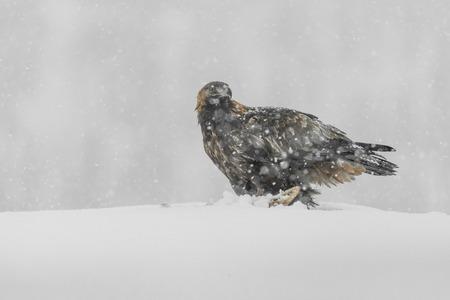 aguila real: Un águila de oro en una fuerte nevada.