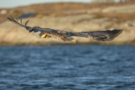 A hunting eagle in a shallow dive showing an excellent view of its huge wings. Standard-Bild