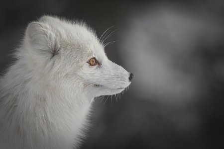 A profile shot of an Arctic Fox in its white winter coat.