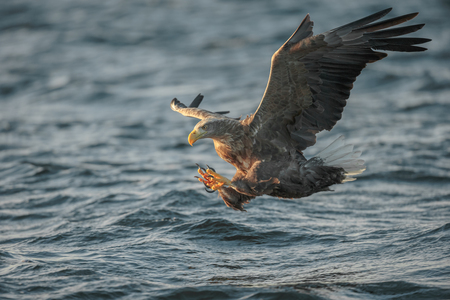 grasp: A hunting White tailed Eagle with its talons ready to grasp its prey from the cold waters off the Norwegian coast. Stock Photo