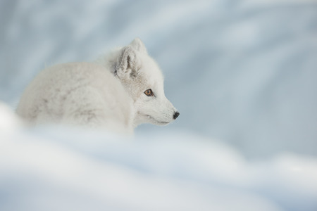 A portrait of an Arctic Fox in snow looking to the right of frame.