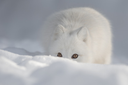 snow drift: An Arctic Fox peering over a snow drift and looking directly at the camera.