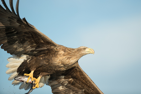 talons: A hunting White tailed Eagle with its prey securely held in its powerful talons.
