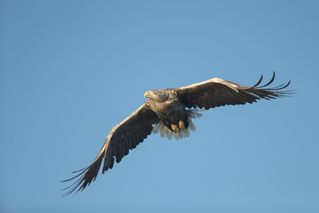 A hunting White tailed Eagle in flight against a blue sky.