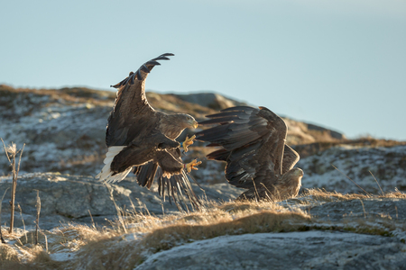 aggressor: Two eagles fighting over territory and food.  The aggressor on the left is the territory holder, and is attacking an interloper who has caught a fish and is trying to eat it inside the aggressors home area. Stock Photo