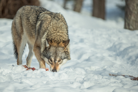 A single Grey Wolf standing over some scraps of food and looking directly at the camera.