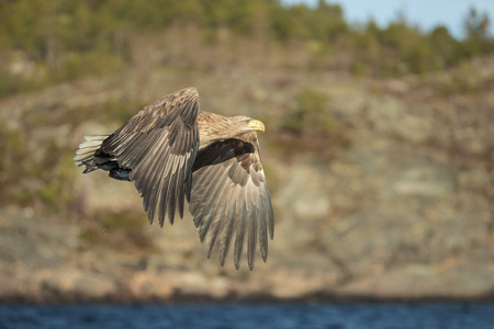 A hunting White tailed Eagle with its prey securely held in its powerful talons.