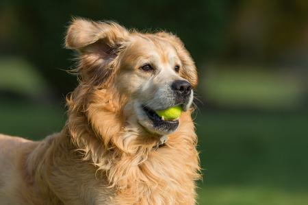 A Golden Retriever dog playing with a tennis ball. Standard-Bild
