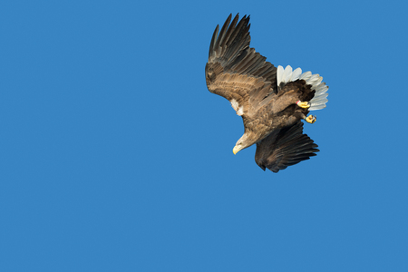 A hunting White-tailed Eagle against a deep blue sky and in a dive towards its intended prey.