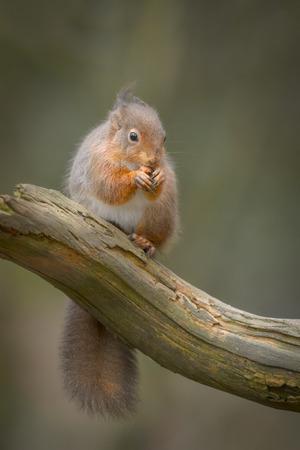 A Red Squirrel sitting on a log, eating a nut. Standard-Bild