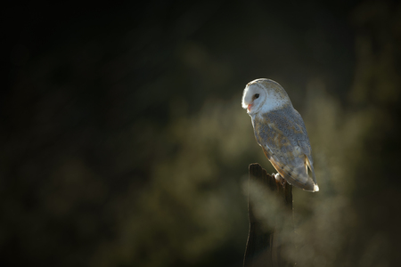 iluminado a contraluz: A back-lit Barn Owl in early morning light and perched on the limb of a fallen dead tree.