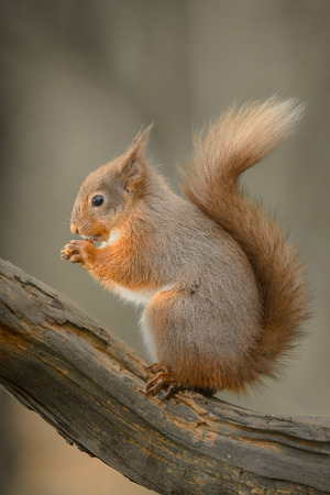 A Red Squirrel sitting on a log in profile, eating a nut. Standard-Bild
