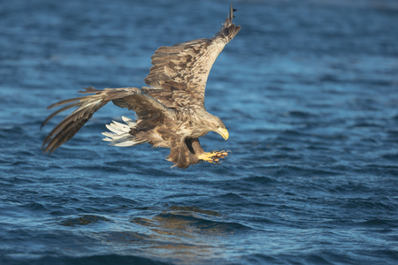 A hunting White tailed Eagle just milliseconds from striking its prey.