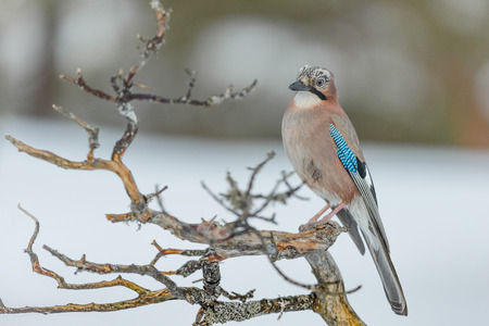 A Jay perched on a gnarled pine branch in a winter setting.