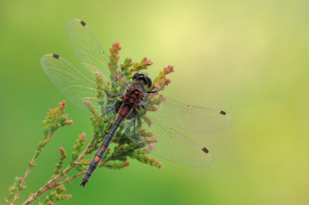 A male White-faced Darter dragonfly perched on heather against a vibrant green background. Stock Photo