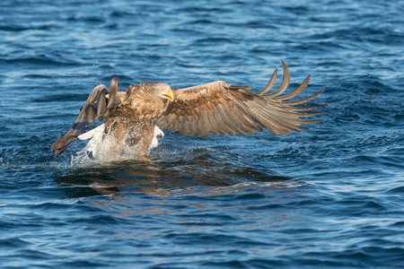 A White-tailed Eagle seizes its prey in a cloud of foaming spray. Stock Photo
