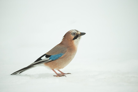 A high key image of a Jay standing on snow in the middle of winter. Standard-Bild