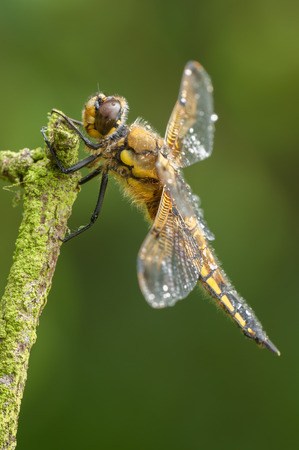 A Four-spotted Chaser dragonfly perched on a twig against a green background. The water droplets are from a short shower of rain. Stock Photo