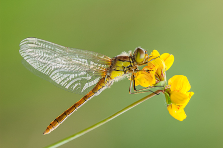 A freshly emerged Common Darter dragonfly dries its wings while clinging to a yellow waterside flower. Standard-Bild