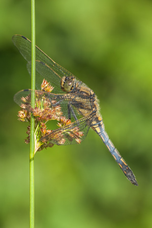 A Black Darter dragonfly perched on a reed stem against a vivid green background.