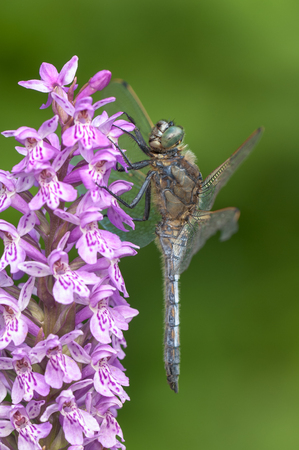 A Black Darter dragonfly perched on a wild orchid. Stock Photo