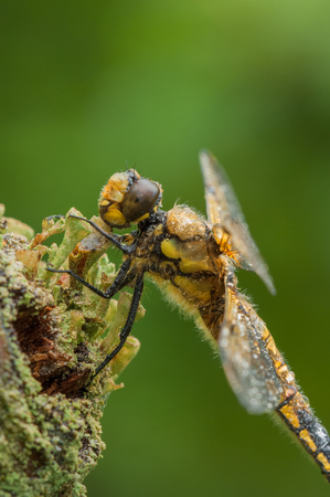 A Four-spotted Chaser dragonfly perched on a twig against a green background. The water droplets are from a short shower of rain. Standard-Bild