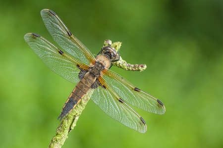 A Four-spotted Chaser dragonfly perched on a twig against a vibrant green background