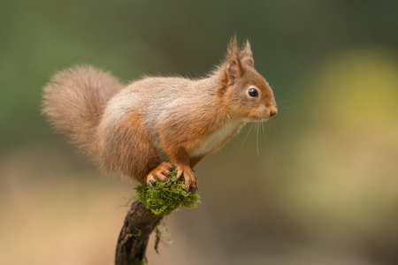 A Red Squirrel about to leap from one tree branch to another.