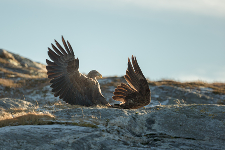 Two eagles fighting over territory and food.  The aggressor on the left is the territory holder, and is attacking an interloper who has caught a fish and is trying to eat it inside the aggressors home area. Stock Photo