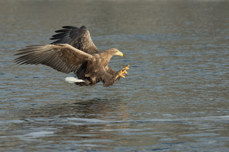 A hunting White-tailed Eagle attacking its prey which is just below the surface of the water. Standard-Bild