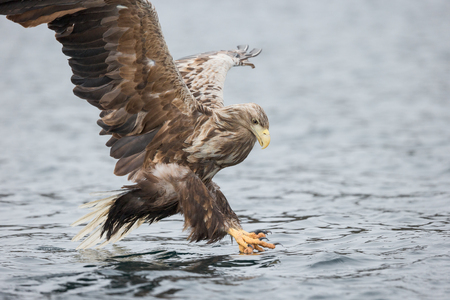 A male White-tailed Eagle reaches below the surface of the water to grab its next meal of fish.