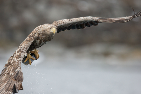 A male White-tailed Eagle in flight, having caught a fish he is now flying directly towards the camera. Standard-Bild