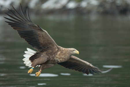 A male White-tailed Eagle in flight, gliding in to attack another prey fish from a cold Norwegian fjord in winter. Standard-Bild