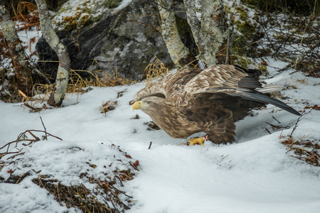 A male White-tailed Eagle that has been feeding on the ground is about to launch himself into the air and fly away from the approaching camera.