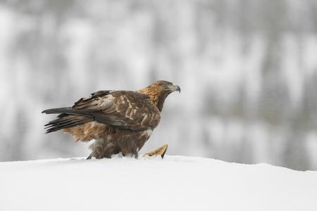 aguila real: Una mujer noruega Golden Eagle barrido de una carcasa de zorro en la nieve pesada.