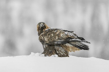 heavy snow: A female Norwegian Golden Eagle with snow on her back because she is scavenging a fox carcass in heavy snow.