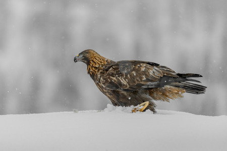 A female Norwegian Golden Eagle scavenging a fox carcass in heavy snow.