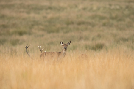 A female Red Deer looking directly at the camera. Another female and their attendant stag are just behind her in the long grass. Imagens