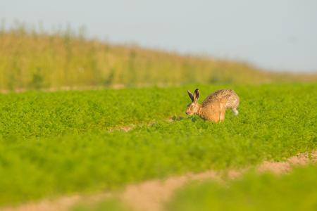 갈색 토끼는 이른 아침 빛 노퍽에서 당근의 전체 필드를 가로 질러 실행.
