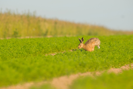 A Brown Hare in early morning light running across a field full of carrots in Norfolk. Stock Photo
