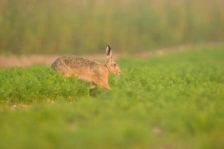 갈색 토끼는 이른 아침에 노퍽에서 당근 가득 필드를 가로 질러 이동합니다.