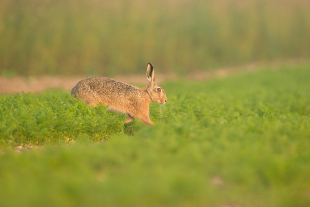 A Brown Hare in early morning mist moving across a field full of carrots in Norfolk.
