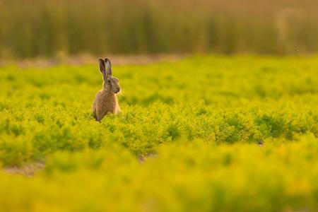 Ein Brown-Hasen im Abendlicht mit Mücken in der Luft und in einem Feld voller Karotten in Norfolk sitzen.