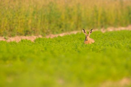 갈색 토끼는 카메라를 똑바로보고 노퍽에서 당근 가득 필드에 앉아.