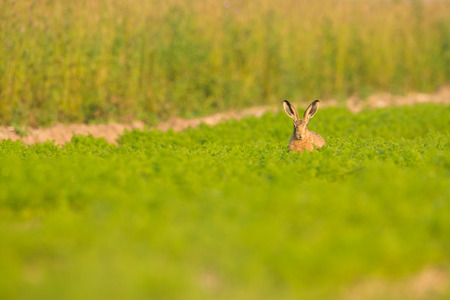 A Brown Hare looking straight at the camera, and sitting in a field full of carrots in Norfolk.