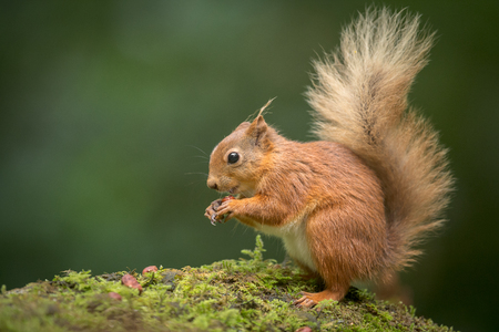 A young Red Squirrel on the ground eating Hazel Nuts
