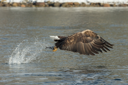 A hunting White-tailed Eagle snatches its prey from the cold water of a Norwegian fjord.