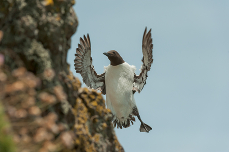 A Guillemot in flight and about to land on a cliff ledge on Skomer Island off the coast of Wales.