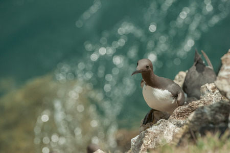 A Guillemot nesting on a cliff ledge on Skomer Island off the coast of Wales. The sun glints off the sea below.